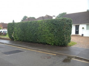 hedge cutting after